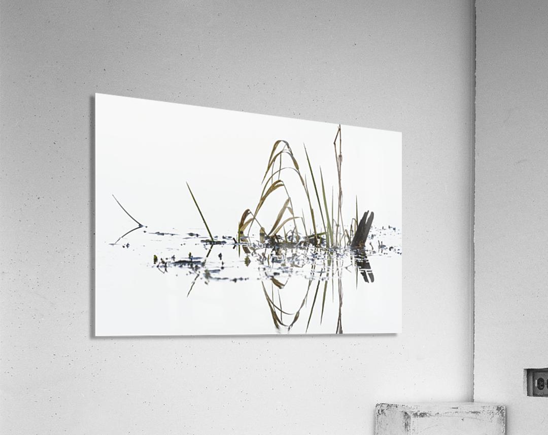 Grass grows in Coffenbury Lake; Hammond, Oregon, United States of America  Acrylic Print