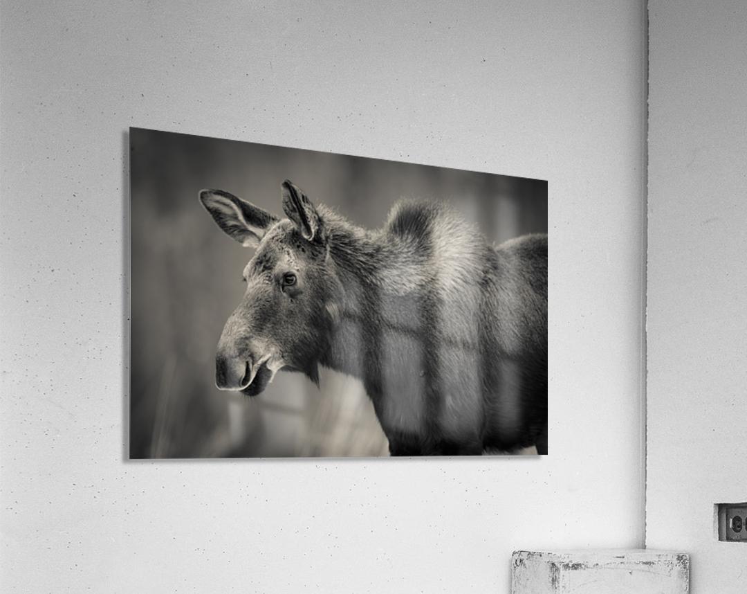 Young Moose  Acrylic Print
