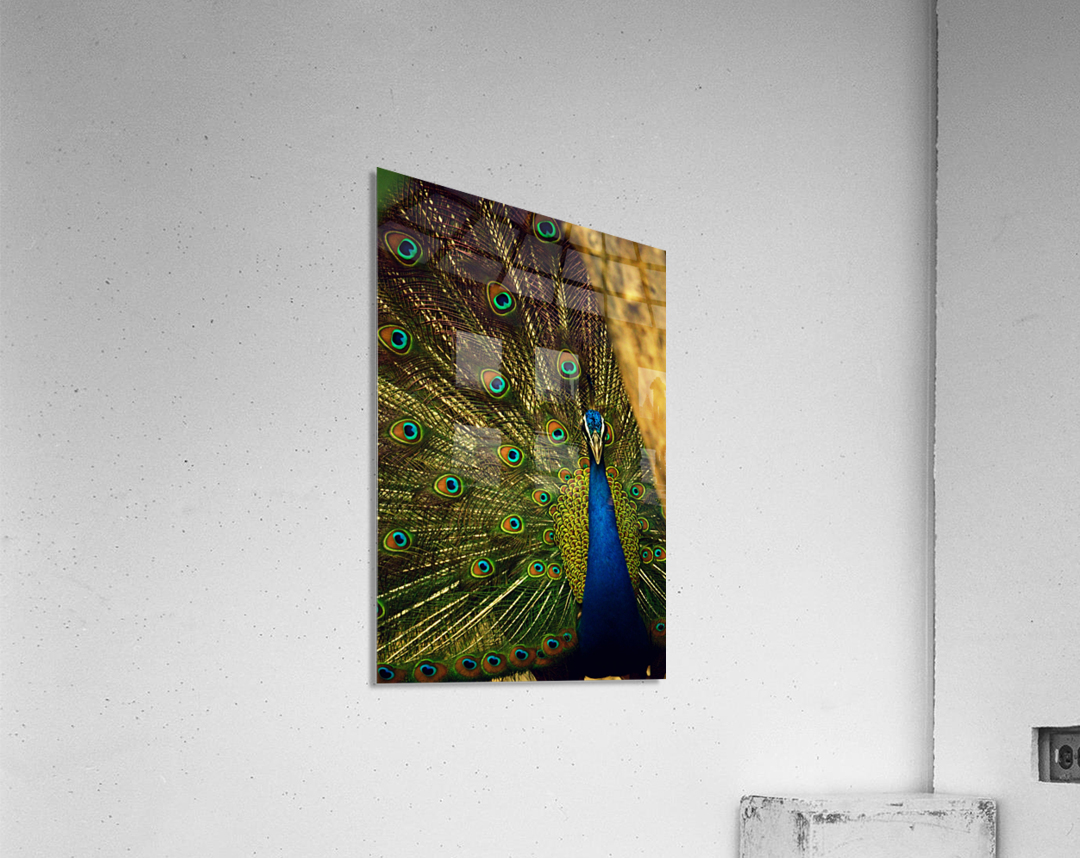 blue and green peafowl  Acrylic Print
