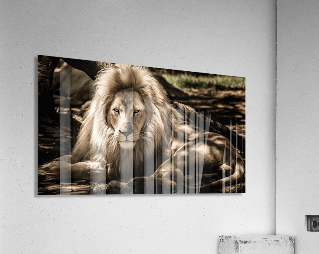 mammal lion animal portrait  Acrylic Print