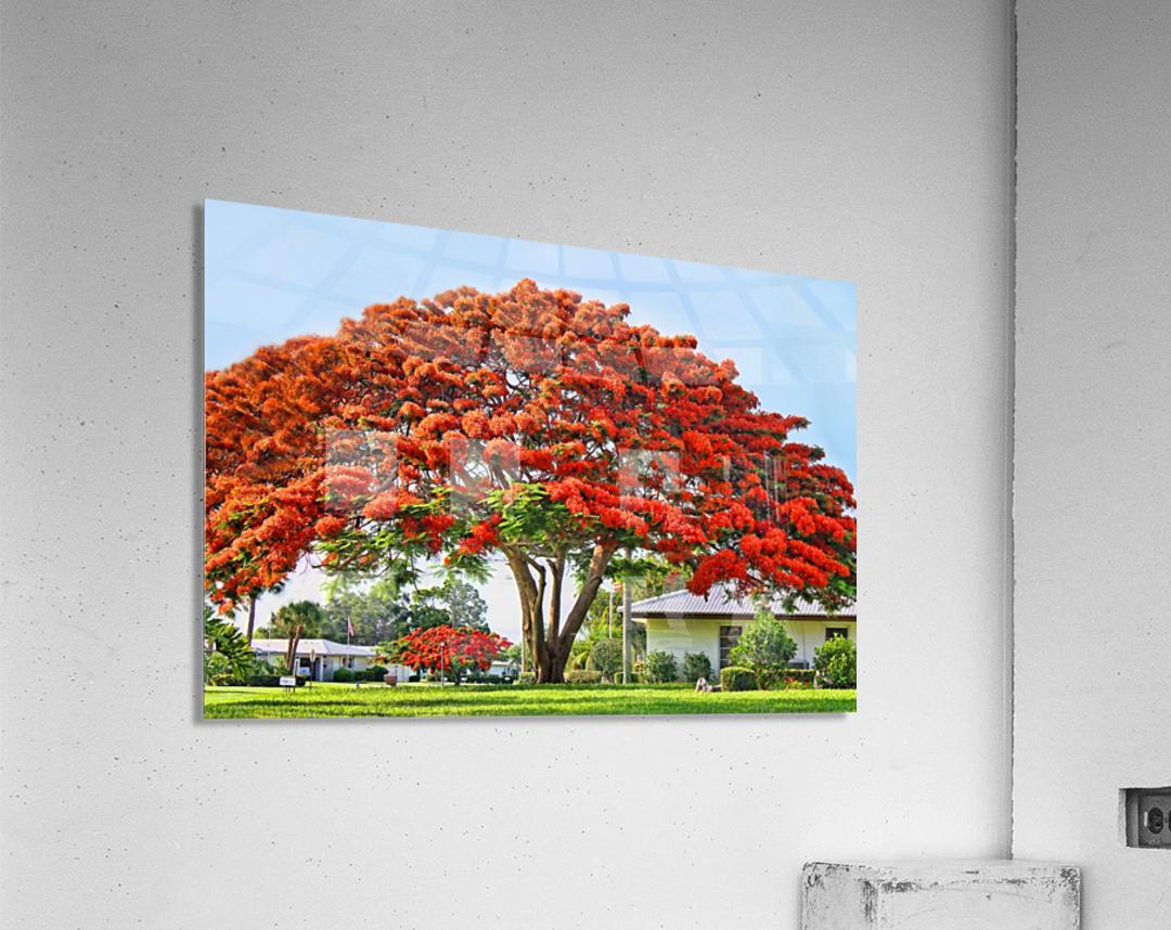 Royal Poinciana Tree  Acrylic Print
