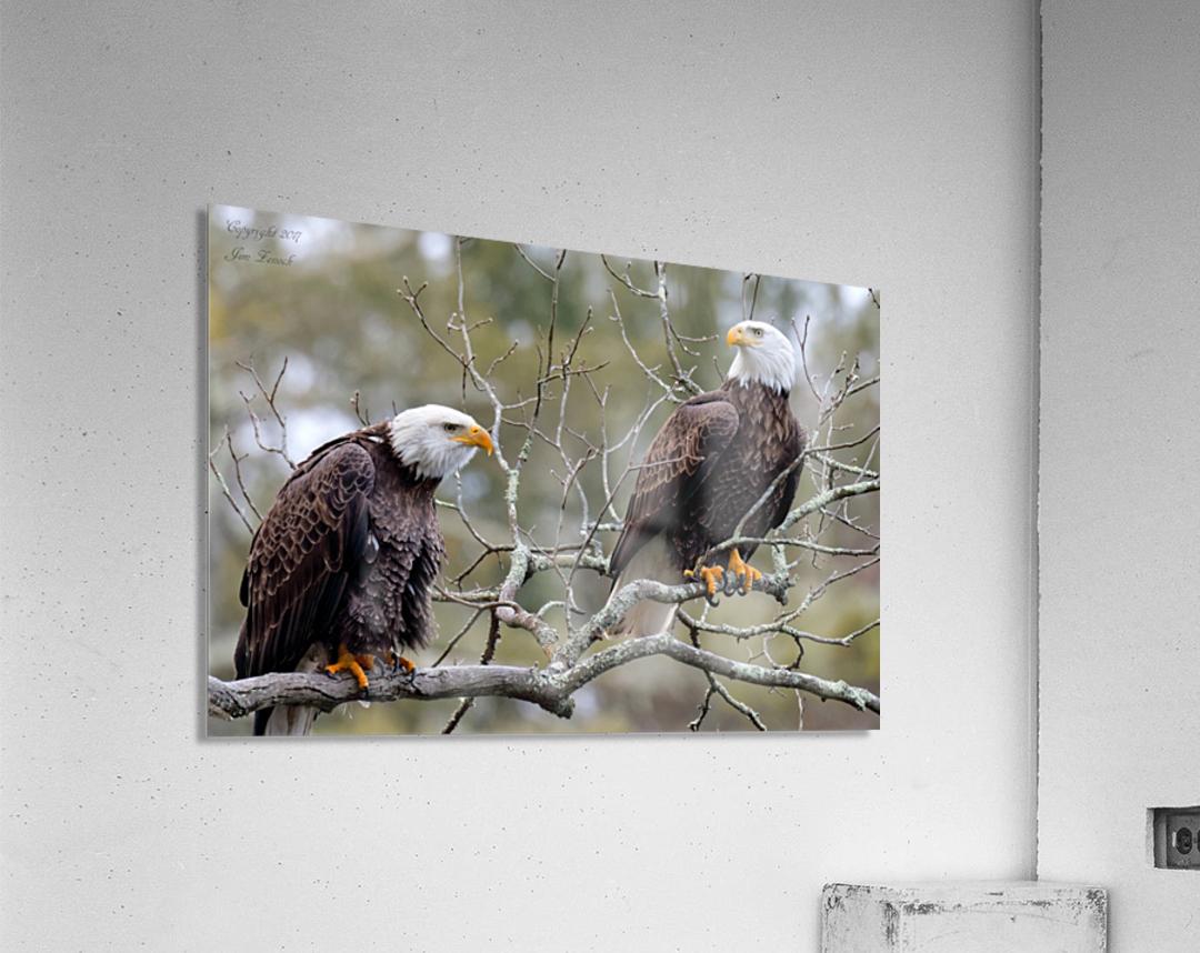 Bald Eagles  Acrylic Print