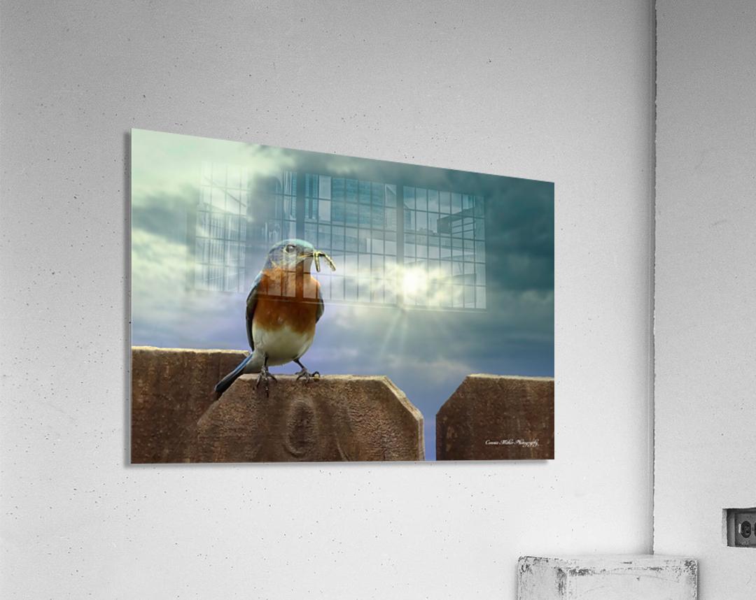 Bluebird in Sun  Acrylic Print