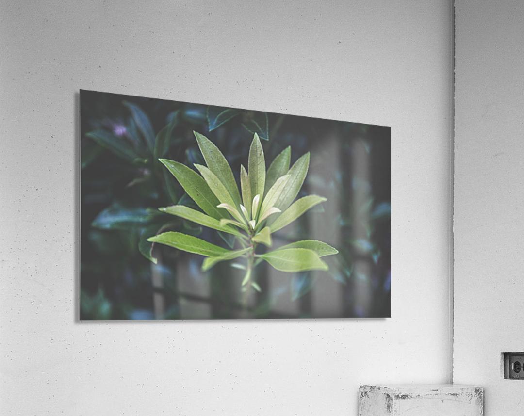 Bamboo shoots  Acrylic Print