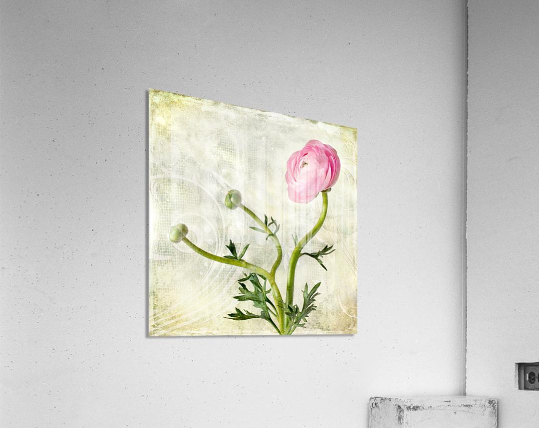 Pink buttercup  Acrylic Print