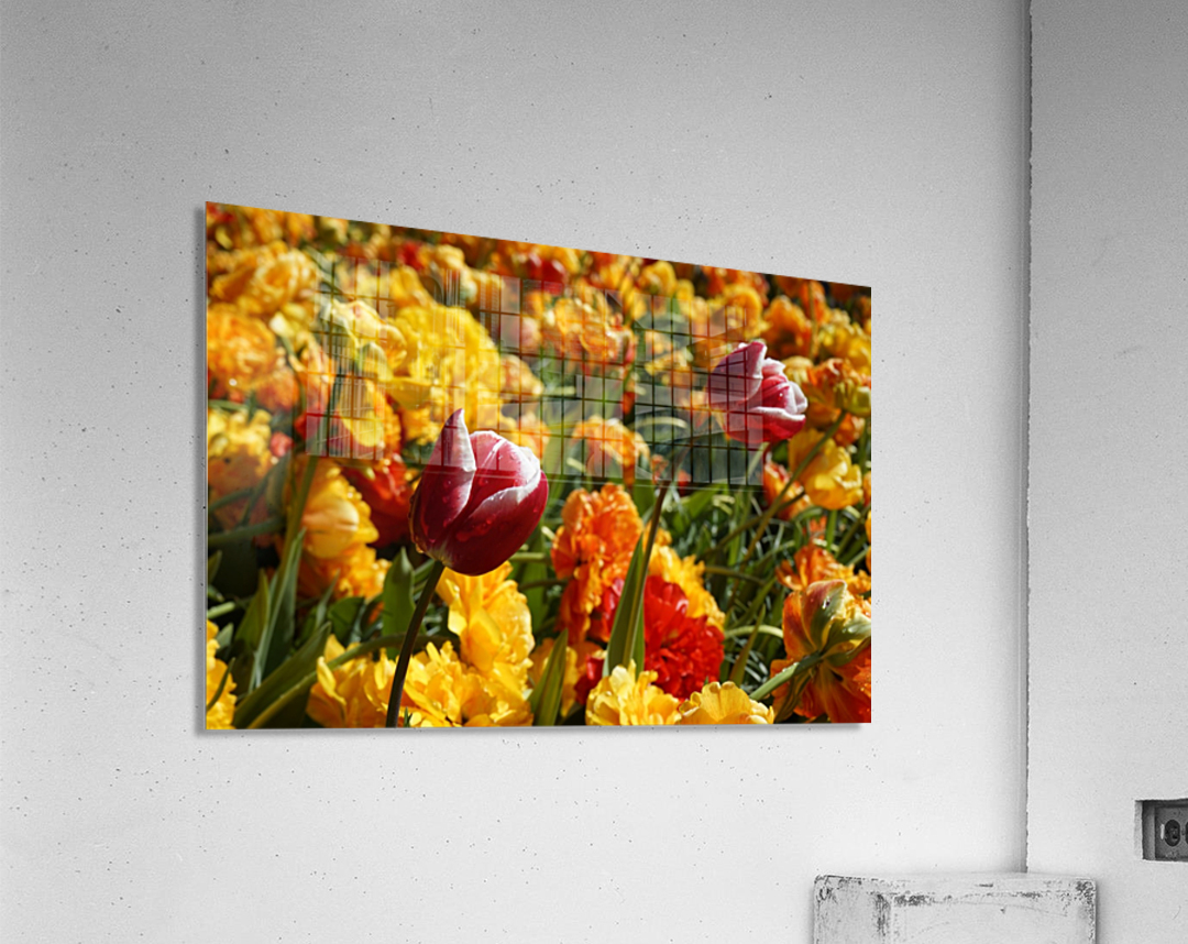Spring Blooms of Holland 7 of 8  Acrylic Print