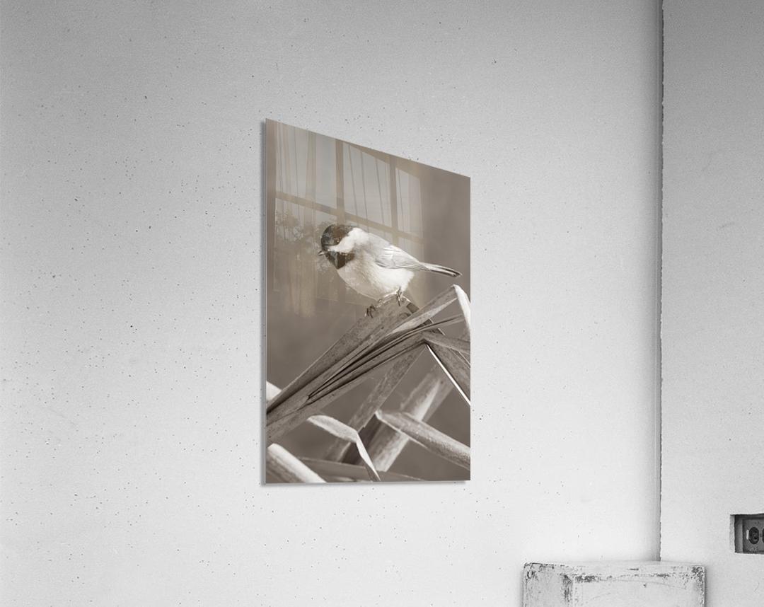 Black Capped Chickadee ap 1592 B&W  Acrylic Print