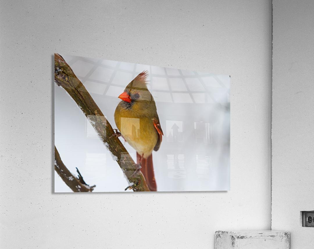Cardinal ap 1729  Acrylic Print