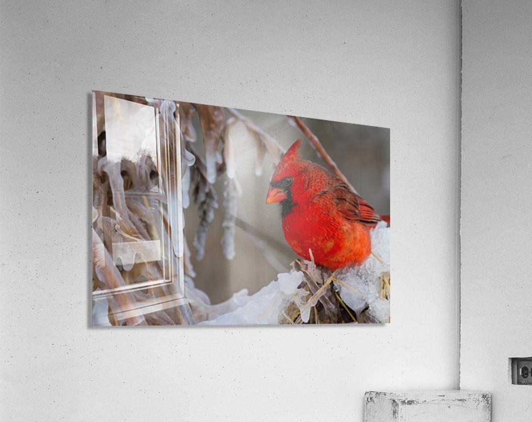 Cardinal ap 1869  Acrylic Print
