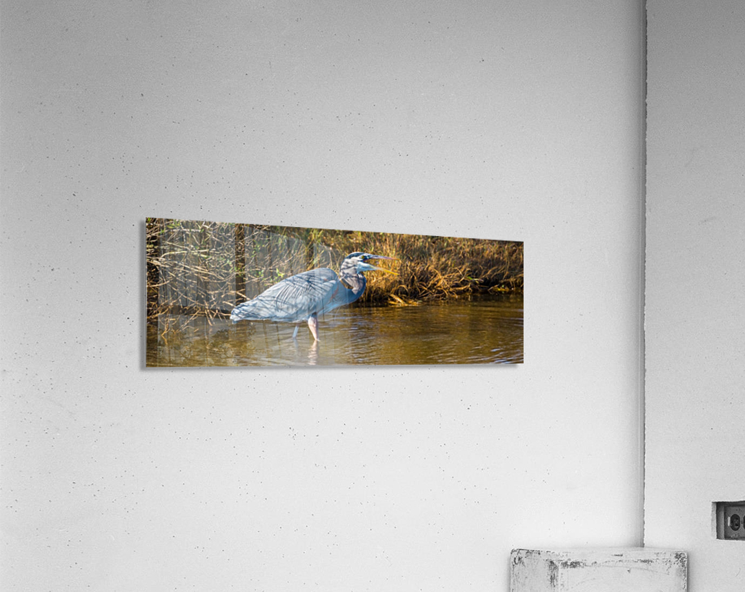 Great Blue Heron ap 2133  Acrylic Print