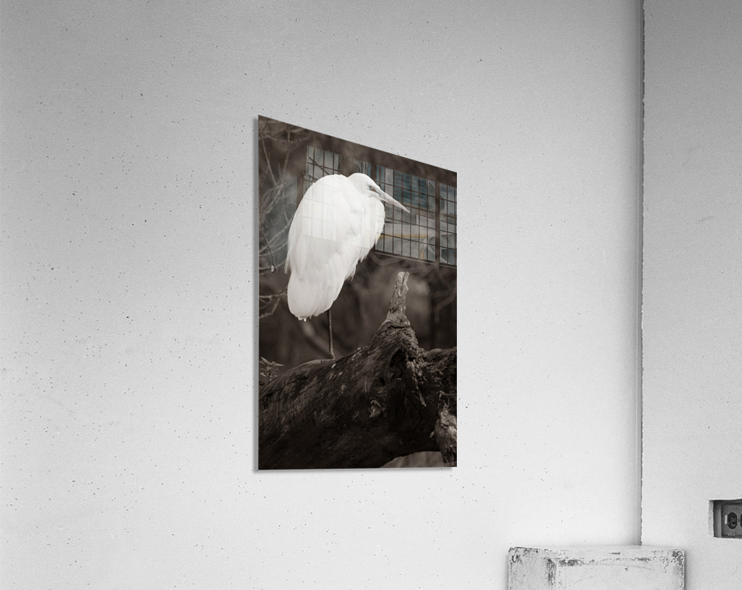 Great White Egret ap 1848 B&W  Impression acrylique