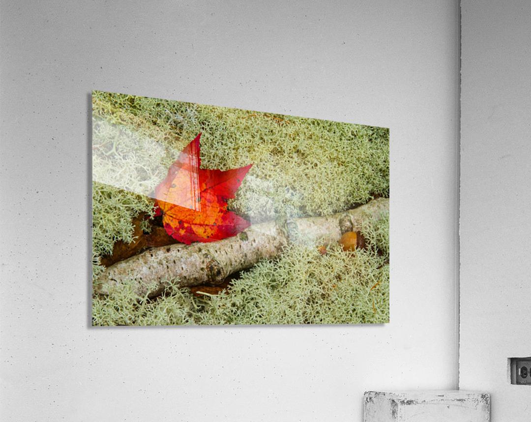 Maple Leaf ap 1555  Acrylic Print