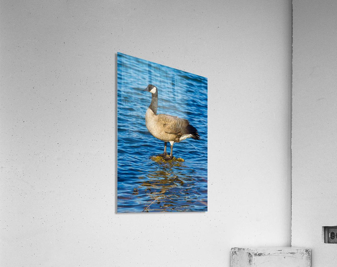 Canada Goose ap 1596  Acrylic Print