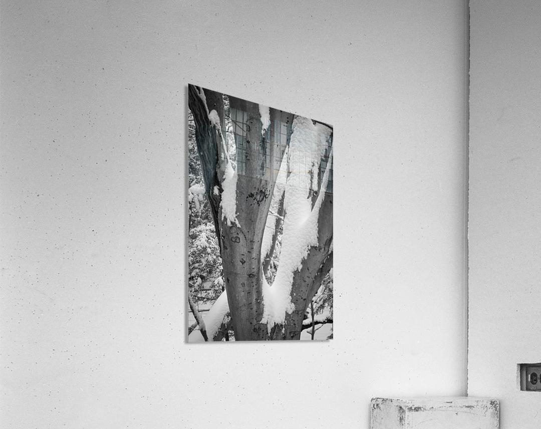Beech ap 2044 B&W  Acrylic Print