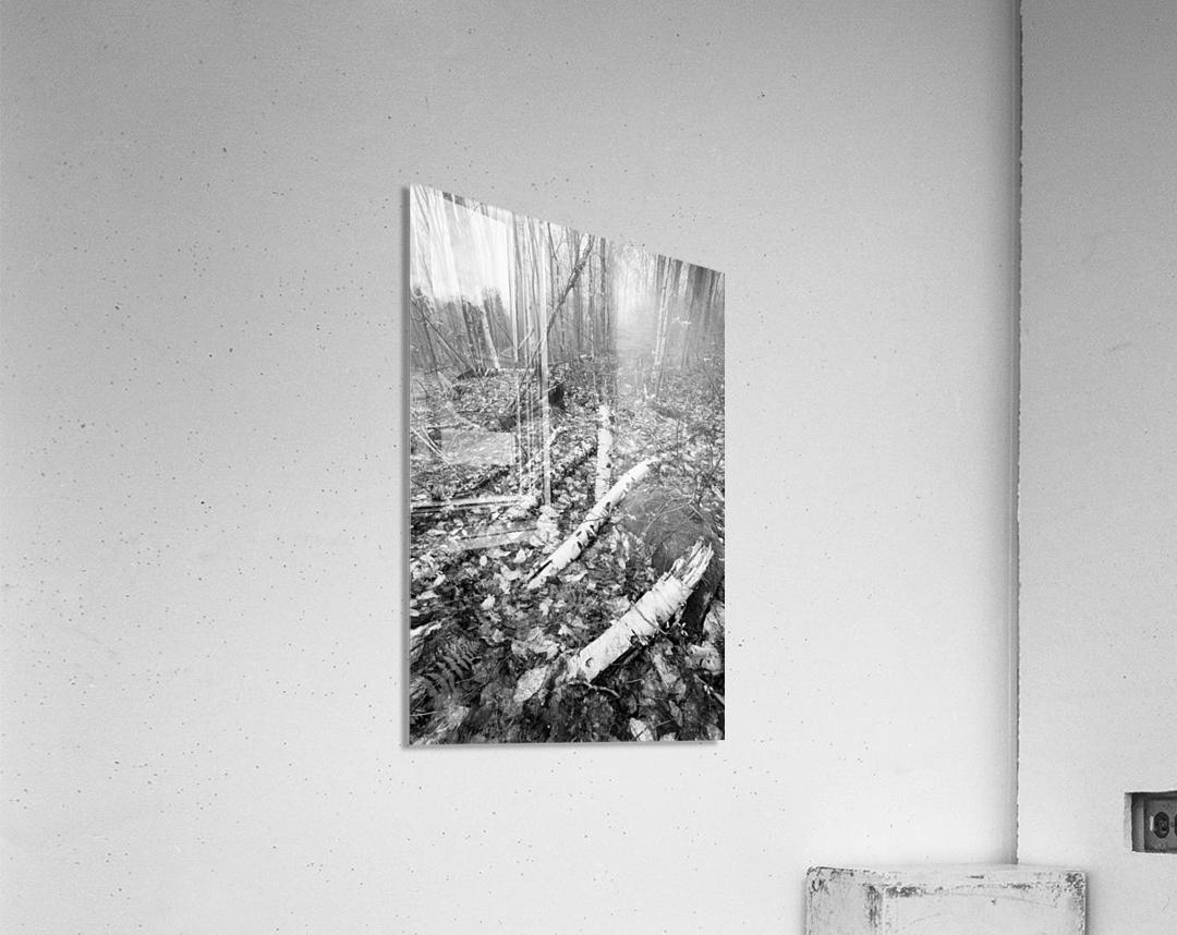 White Birch ap 2186 B&W  Acrylic Print