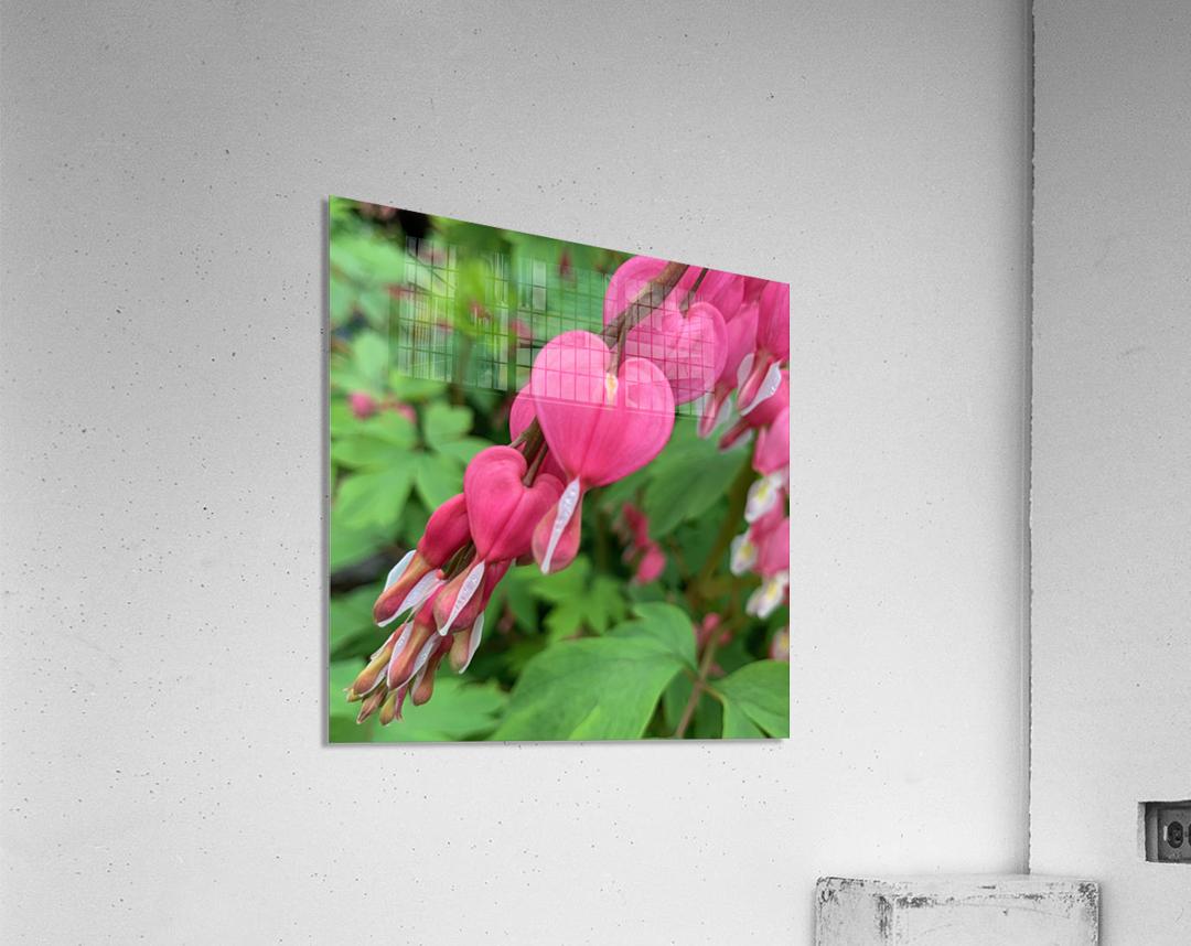 Bleeding Hearts   Acrylic Print