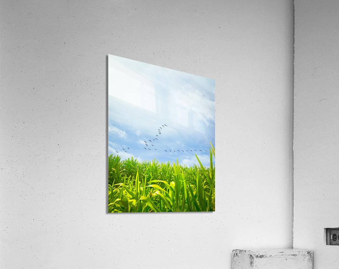 Midsummer Cornfield  Acrylic Print