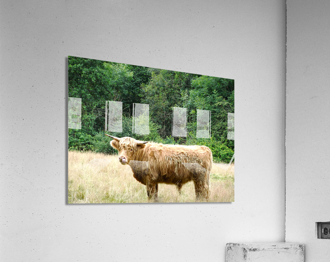 Hairy Coo - Scottish Highlands  Acrylic Print
