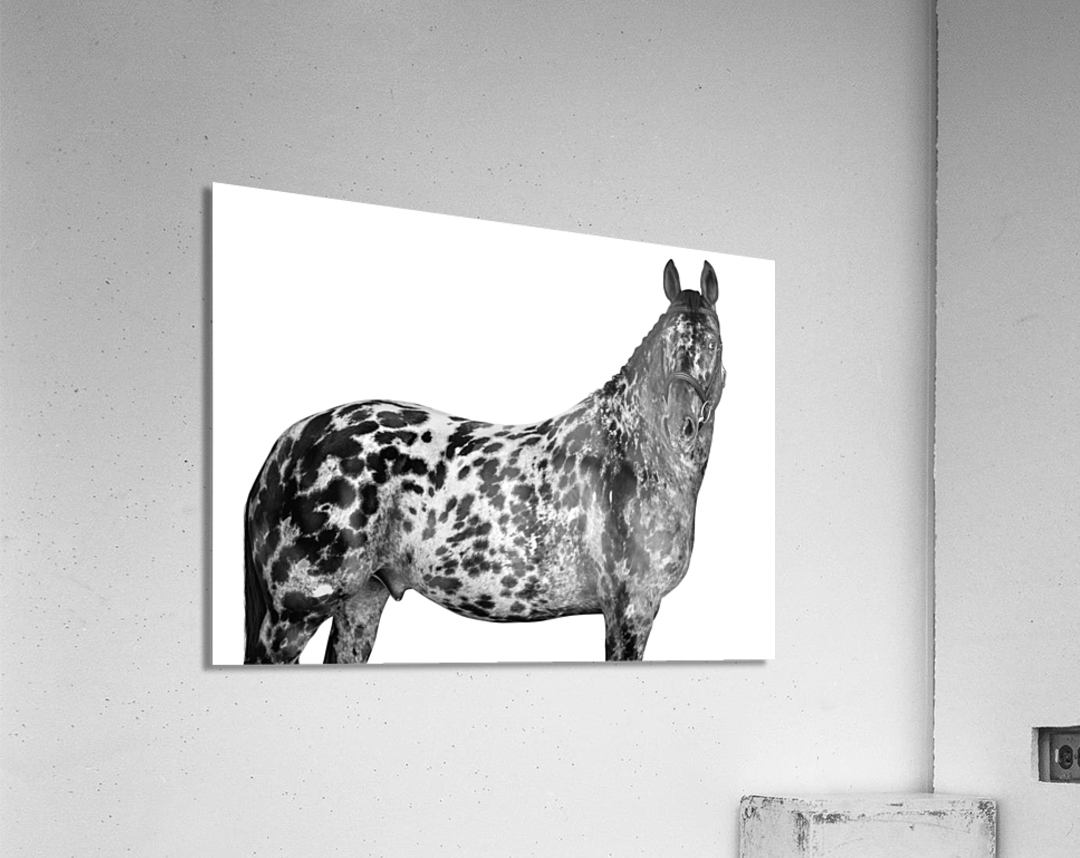 Spotted Horse Portrait  Acrylic Print