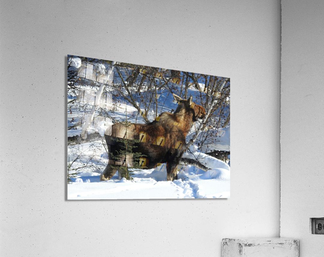 Hungry Moose  Acrylic Print