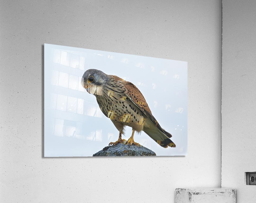Kestrel  Acrylic Print