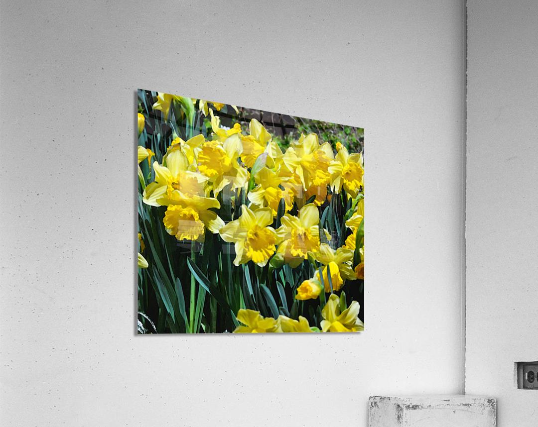 Yellow Daffodils wc  Acrylic Print