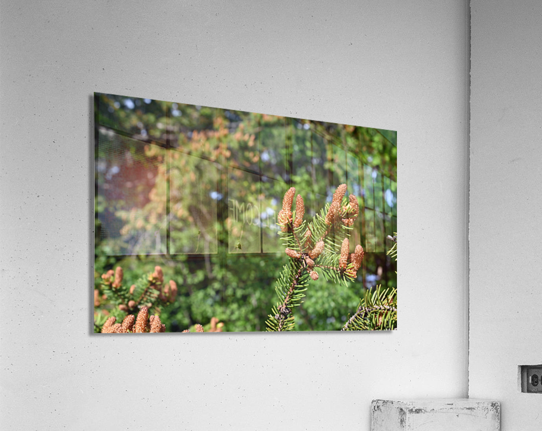Spruce twig and background  Acrylic Print