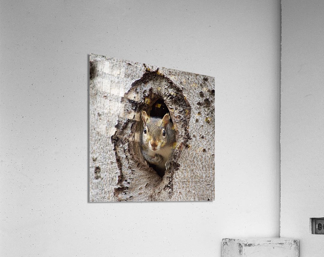 Squirrel in tree hole  Acrylic Print