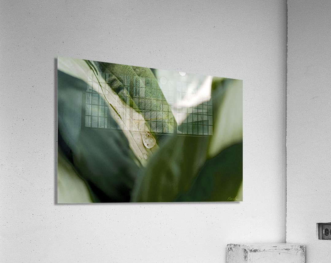 Une larme de hosta   Acrylic Print