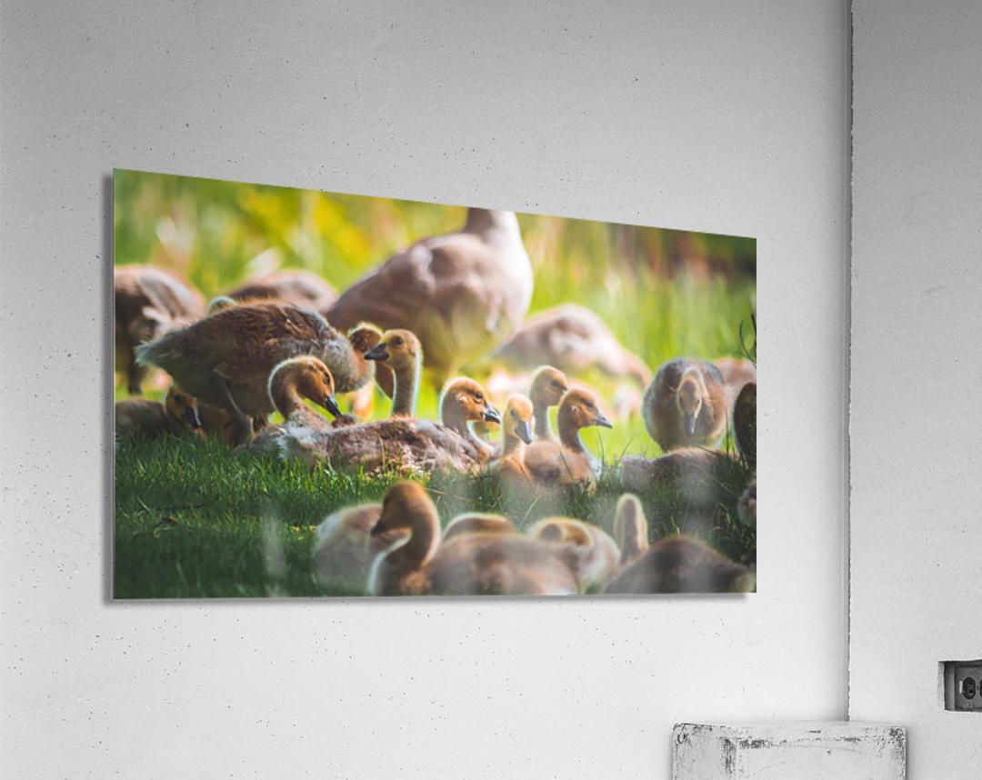 Goslings Gathered  Acrylic Print