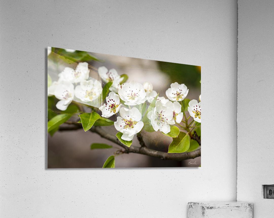Poirier en fleurs 2  Acrylic Print