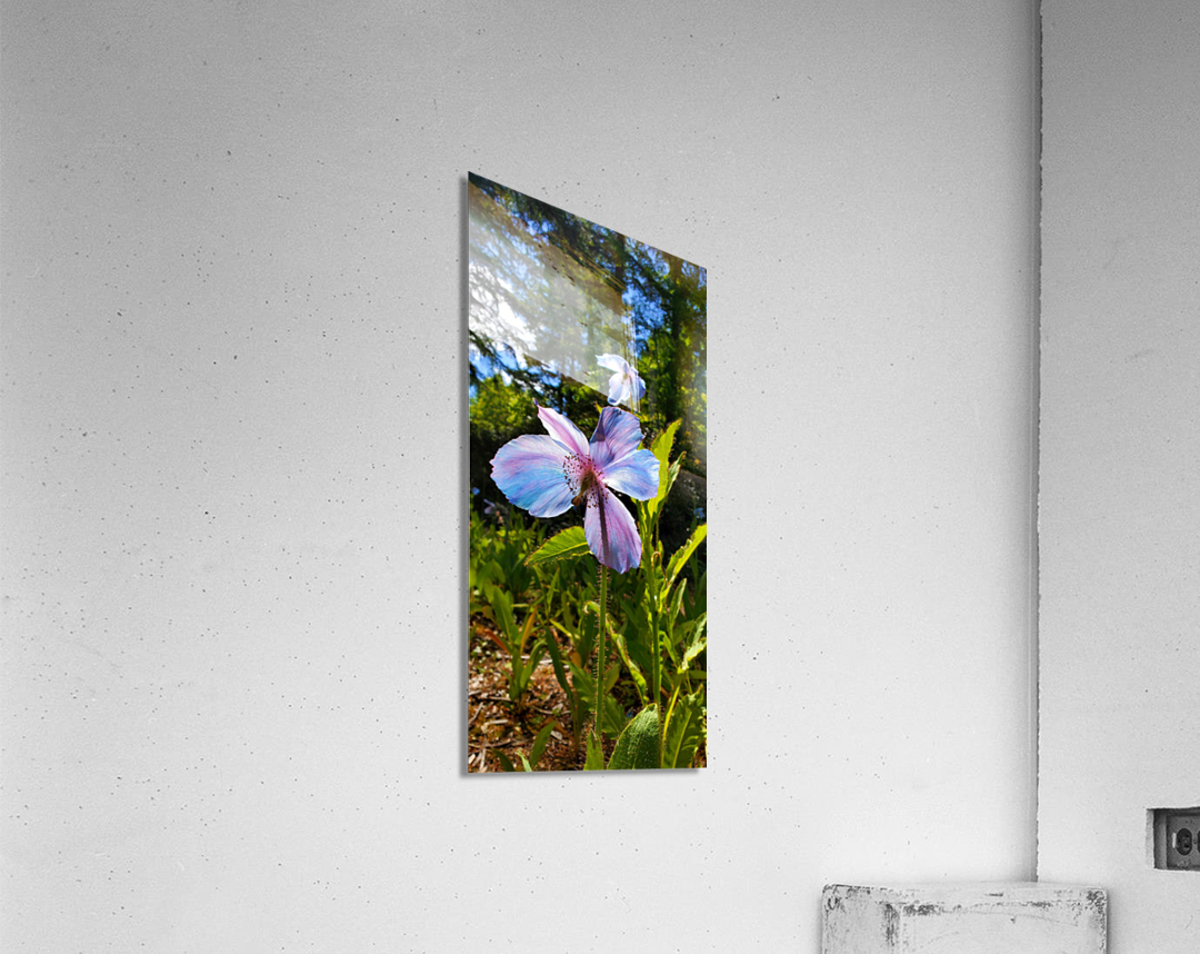 Poppy Blue  Acrylic Print