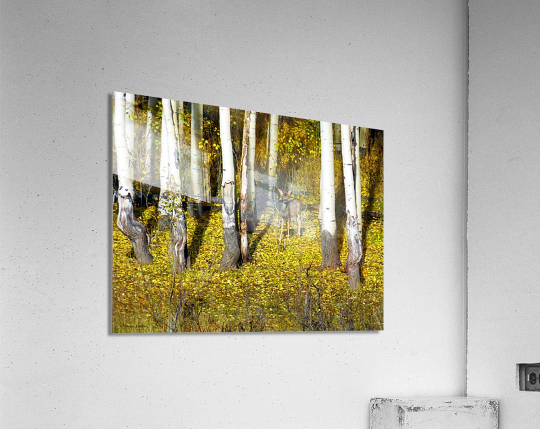 Baby Deer in Old Aspen Trees  Acrylic Print