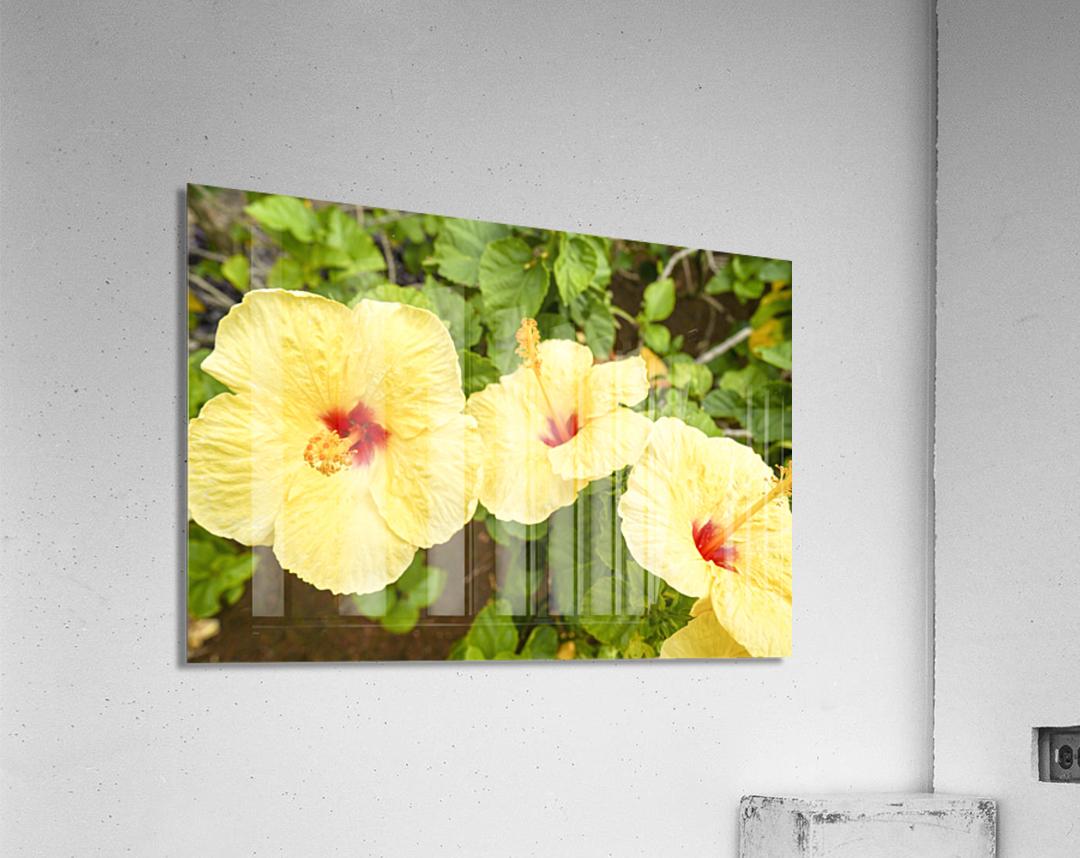 Hibiscus Trio   Tropical Flowers Hawaii  Acrylic Print