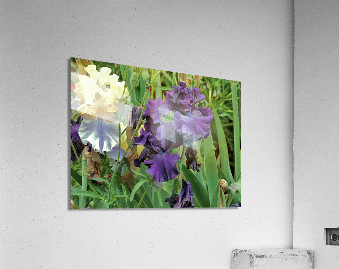 Two Iris  Acrylic Print
