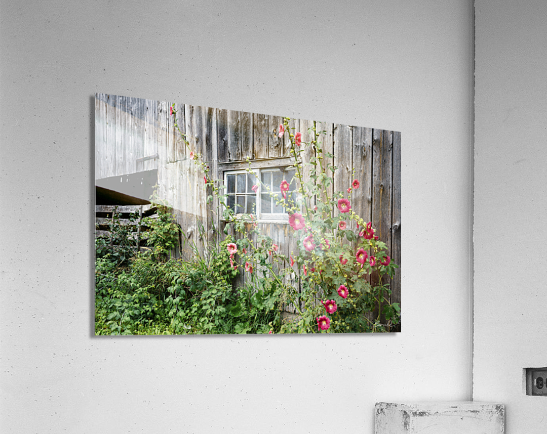 Roses tremieres embellies par une vieille grange - Hollyhocks embellished by an old barn  Acrylic Print