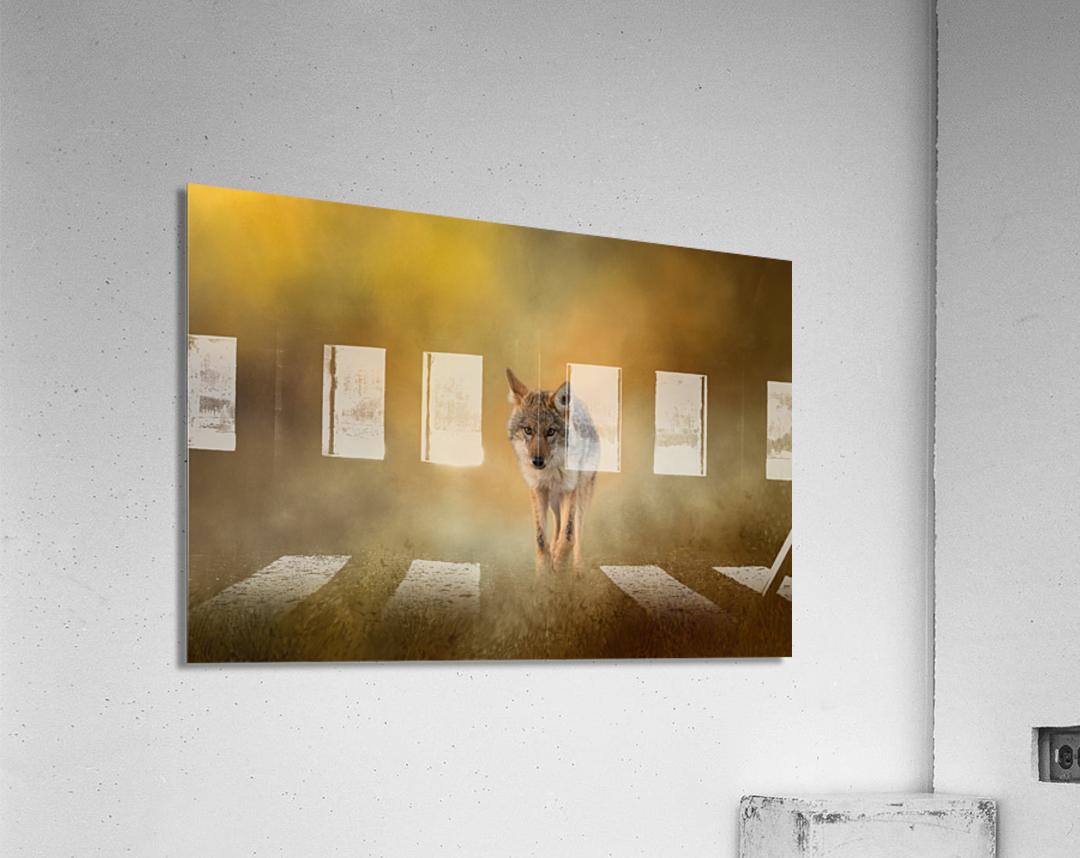 Strolling Coyote  Acrylic Print