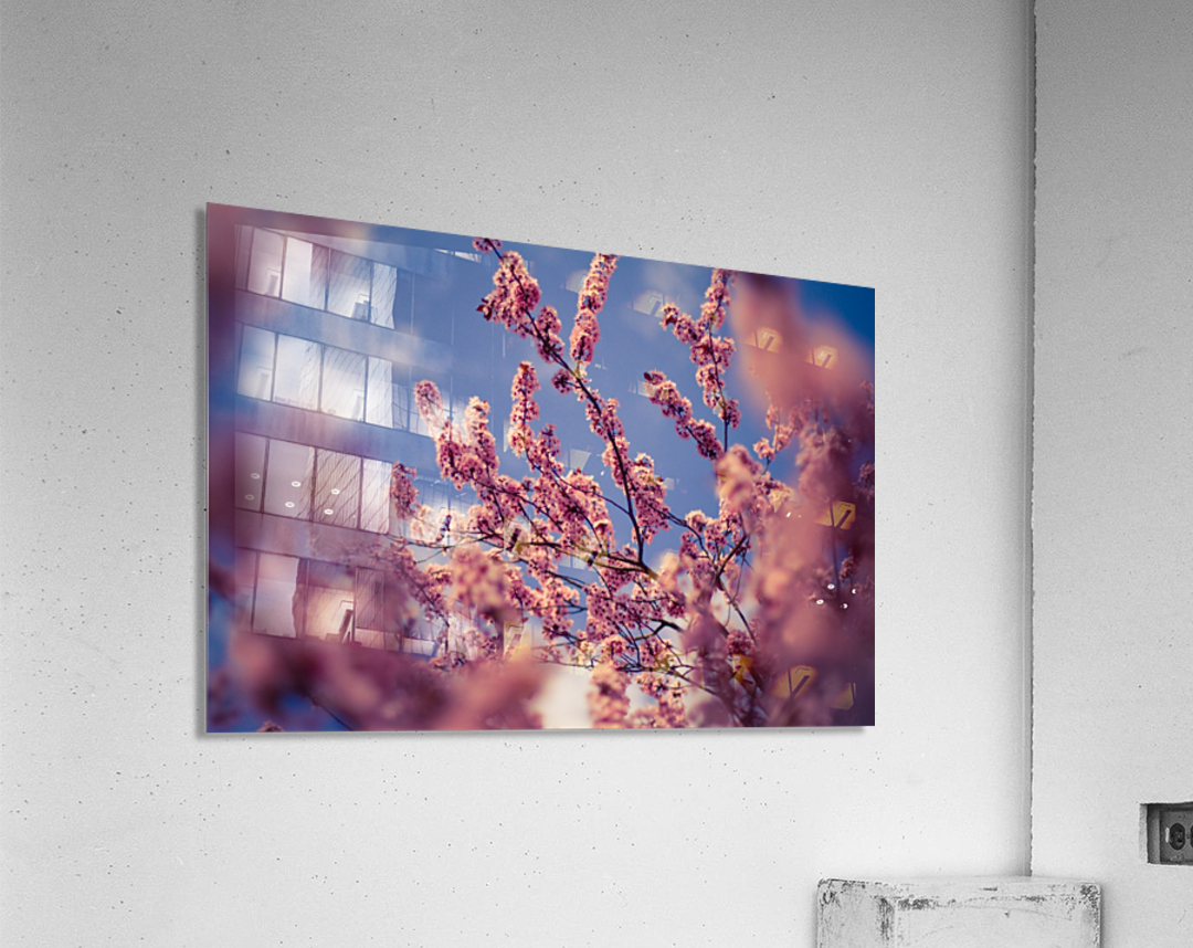 Spring cherry flowers  Acrylic Print