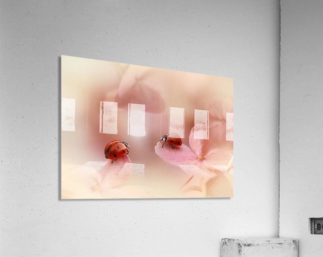 Ladybirds on pink hydrangea.  Acrylic Print