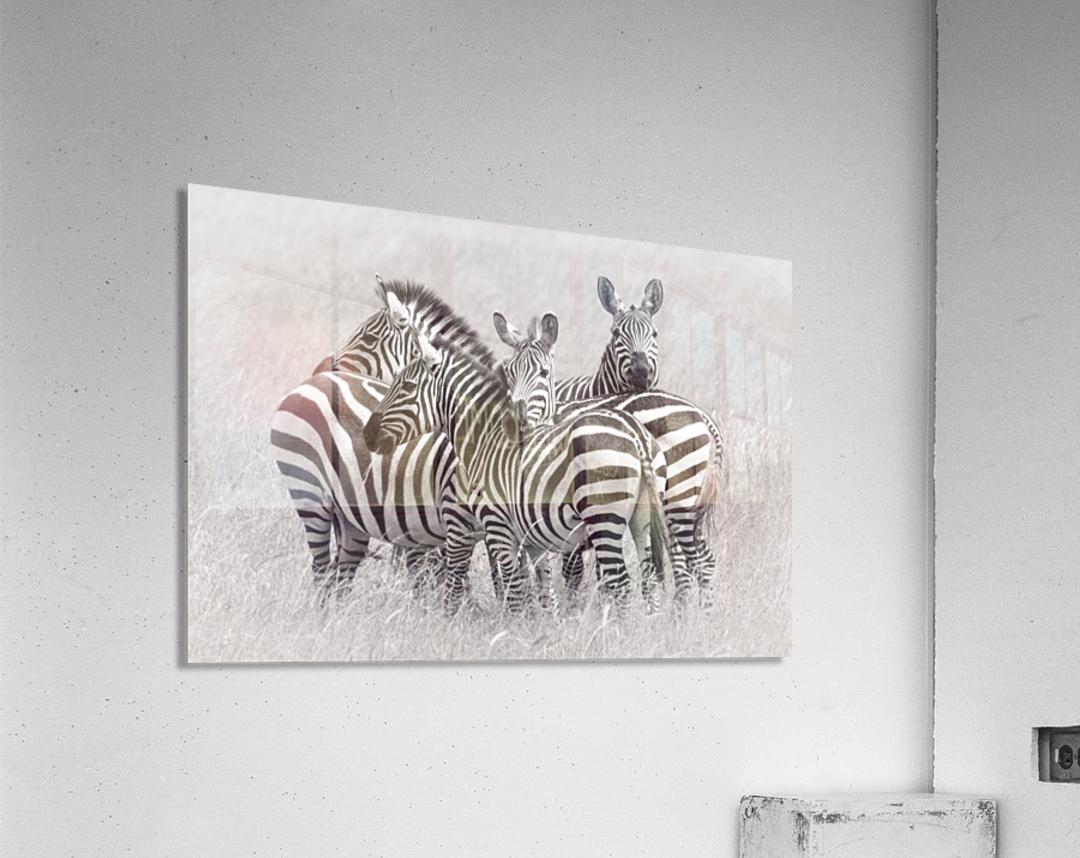 Zebras  Acrylic Print