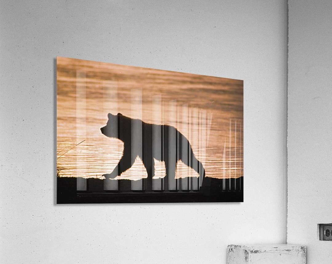 Young Grizzly Bear (Ursus Arctos) Walks Along Edge Of Lake At Sunset  Acrylic Print
