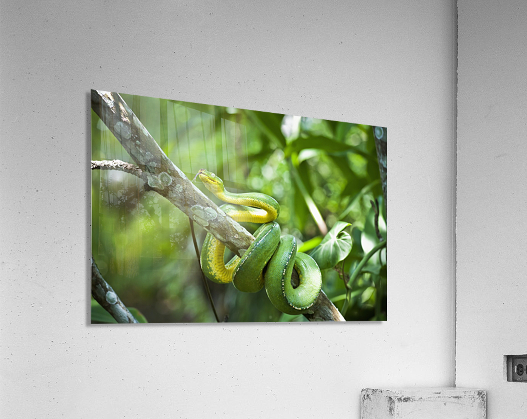 Green tree snake (Dendrelaphis punctulata); Madang Province, Papua New Guinea  Acrylic Print