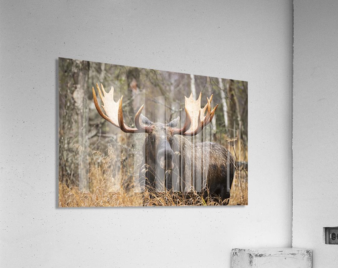 Bull moose (alces alces) in rutting season; Anchorage, Alaska, United States of America  Acrylic Print