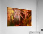Japanese Maple (Acer palmatum) turning red in the autumn; Astoria, Oregon, United States of America  Acrylic Print