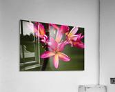 Close-up of bright pink plumeria flowers; Maui, Hawaii, United States of America  Acrylic Print