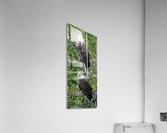 Watchful1  Acrylic Print