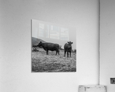 Cows in the mist  Acrylic Print