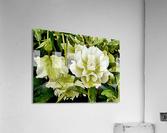 Beauty In A Lenten Rose  Acrylic Print