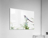 In Search of Summer Pickings  Acrylic Print