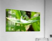 Dew Drops  Acrylic Print